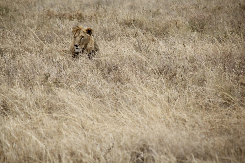 Serengeti, Tanzania, Löwe