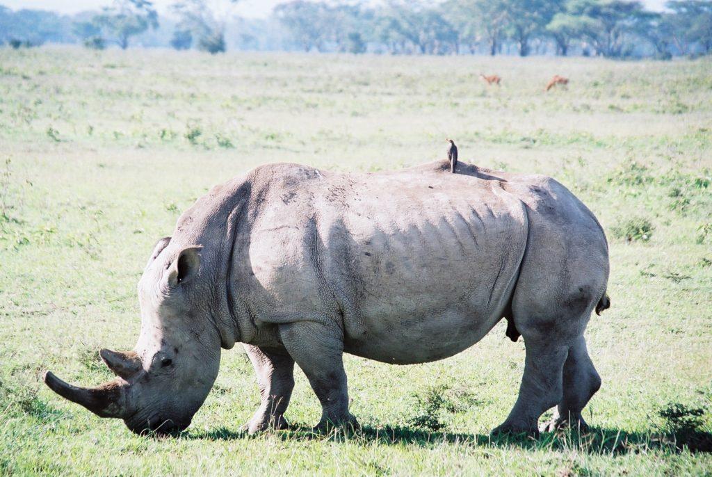 Serengeti, Tanzania, Rhinoceros