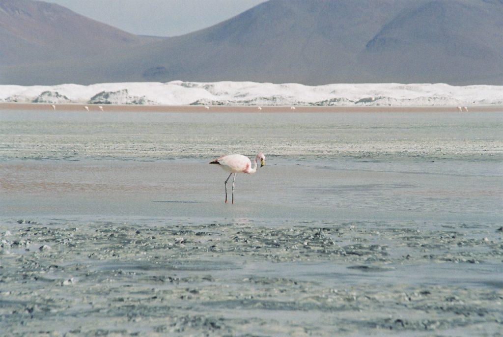 Bolivien, Atacama, Wüste, Flamingo