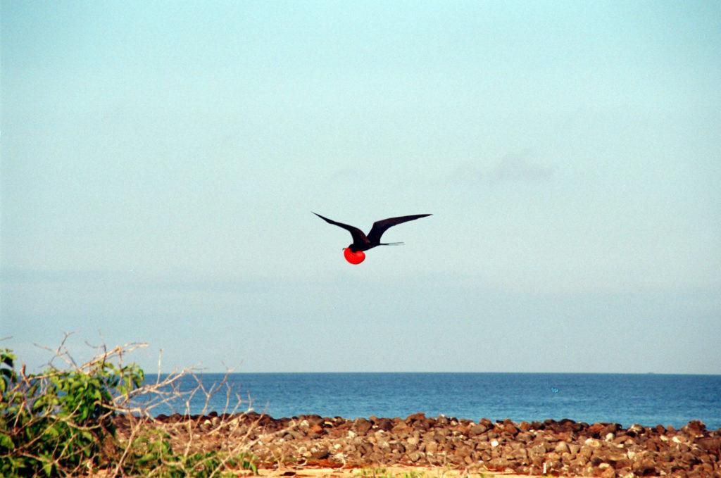 Galapagos, Tiere, Fregattvogel, Vögel