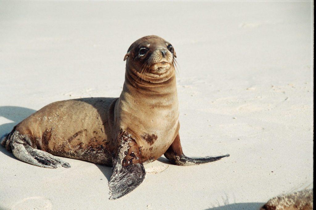 Galapagos, Tiere, Seelöwe, Strand