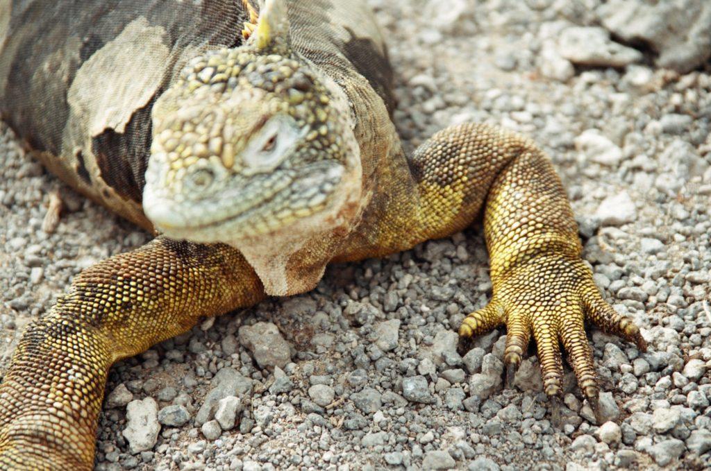 Galapagos, Tiere, Echse, Leguan, Drusenkopf