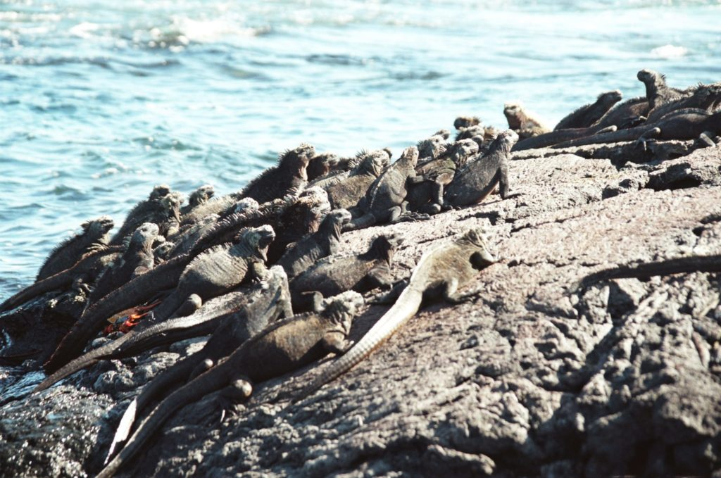 Galapagos, Tiere, Echse