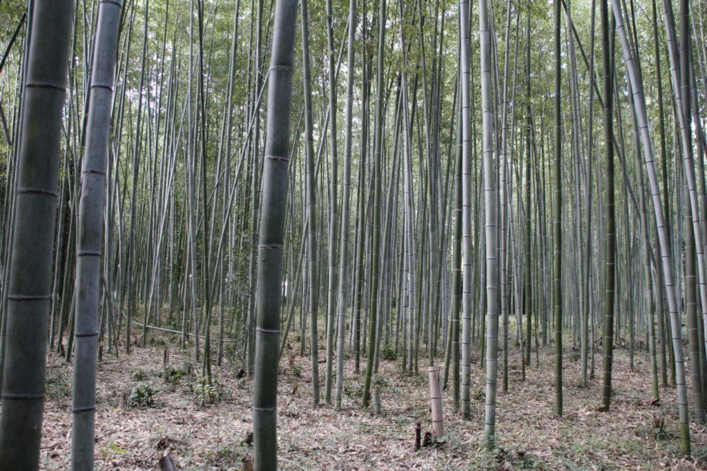 Bamboo-Wald, Bamboo-Forest, Arashiama, Kyoto, Japan