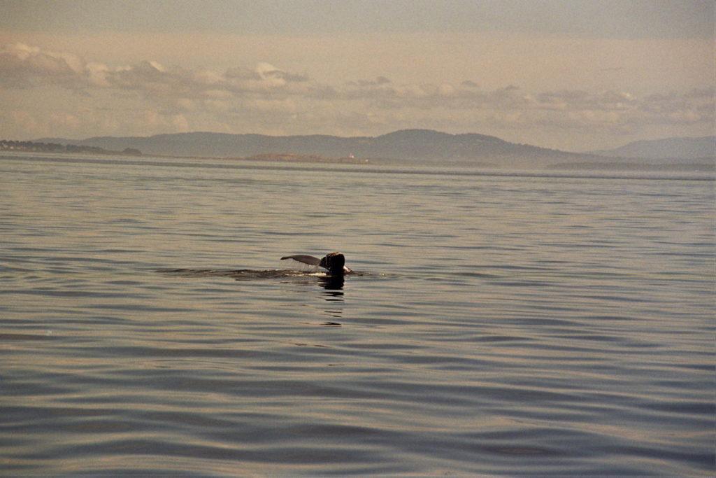 Whale Watching, Vancover Island, Wale, Kanada, Pazifik, Reise, Rundreise, Roadtrip